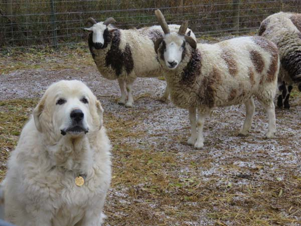 Great Pyrenees guard dog with Jacob sheep owned by Mickey Ramirez