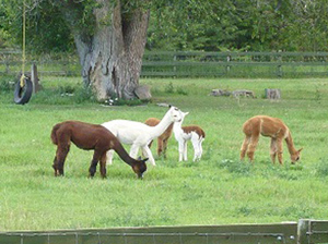 Alpacas owned by Anne and Richard Phillips